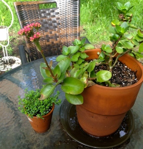 Old plant on the right; new(ish) plant on the left. All plants pictured are subject to eventual death at my hands.
